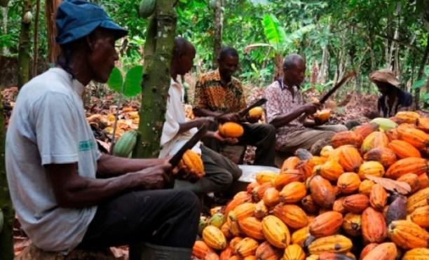 récolte cacao